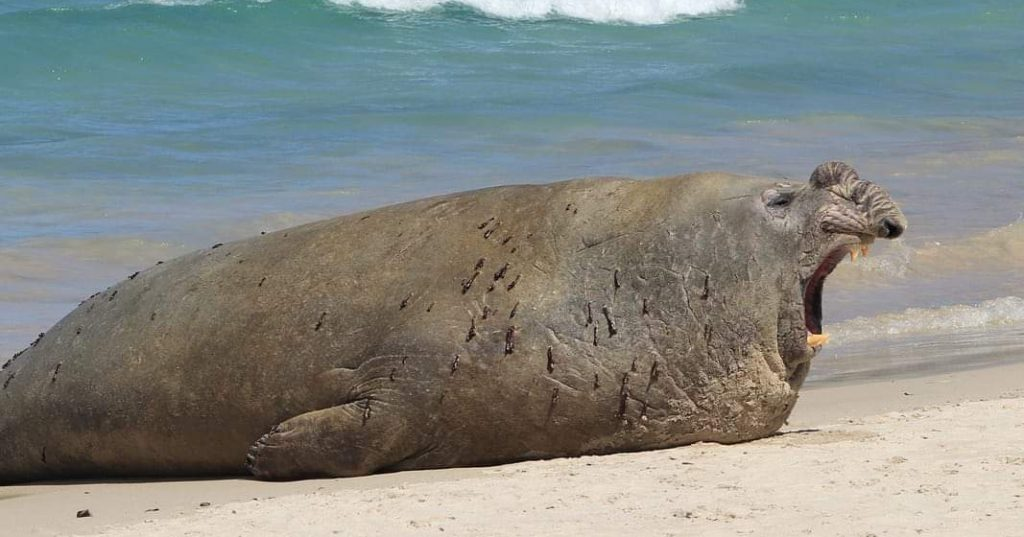 Elephant seal hout bay, Animal Ocean, Seal Snorkeling, Cape Town
