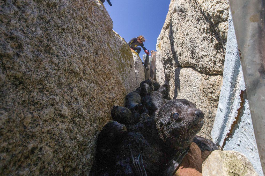 animal ocean seal snorkeling seal rescue otto whitehead