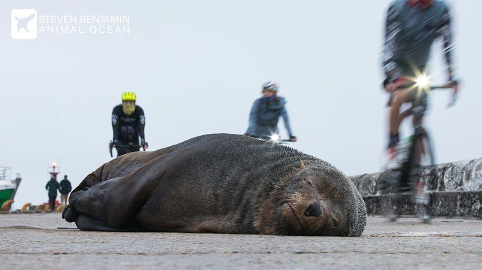 Seal sleeps on harbour wall amongst cyclists