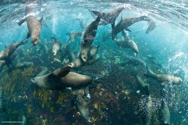 Seals swim together about a reef bed