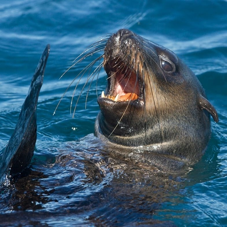 A seal pokes its head out of the water with its mouth open and one fin up