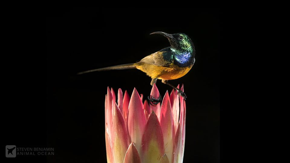 Orange Breasted Sunbird perched on a Protea flower