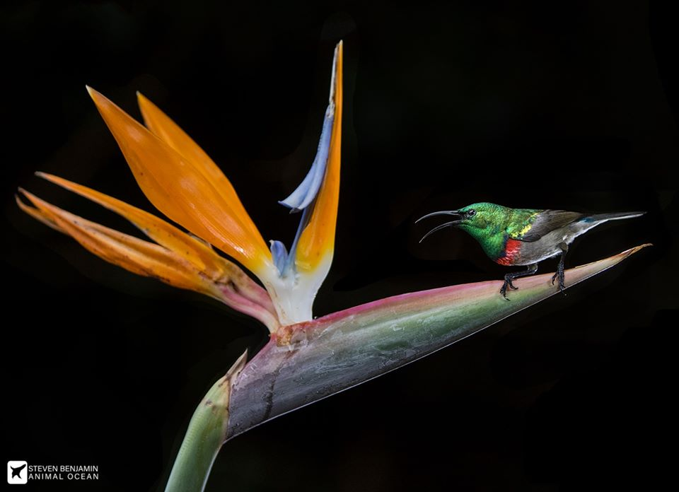 Sunbird on a strelitizia flower
