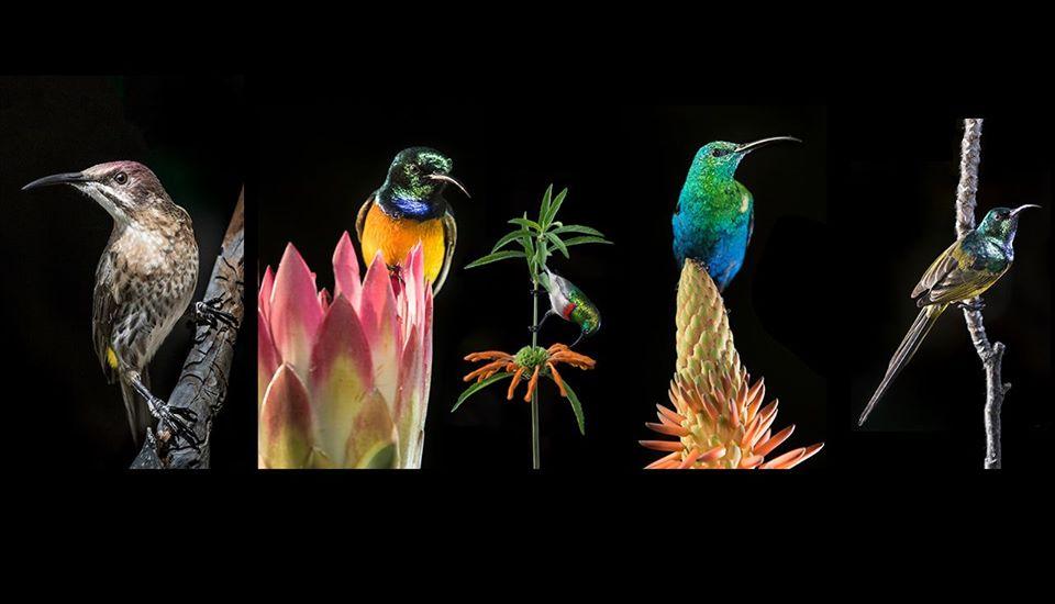 series of 5 sunbirds on fynbos flowers