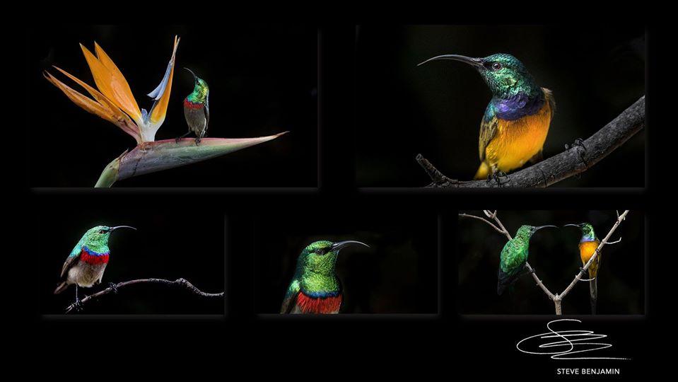 Series of  5 sunbird images