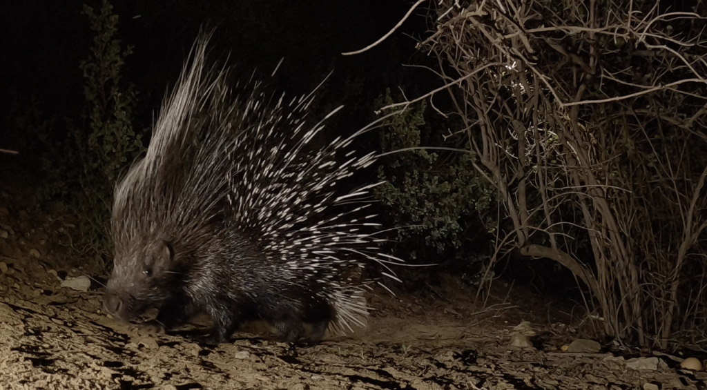 Porcupine spikes its quills