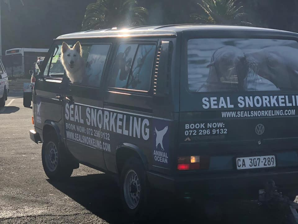 A dog sits in a VW microbus that has Seal Snorkeling branding