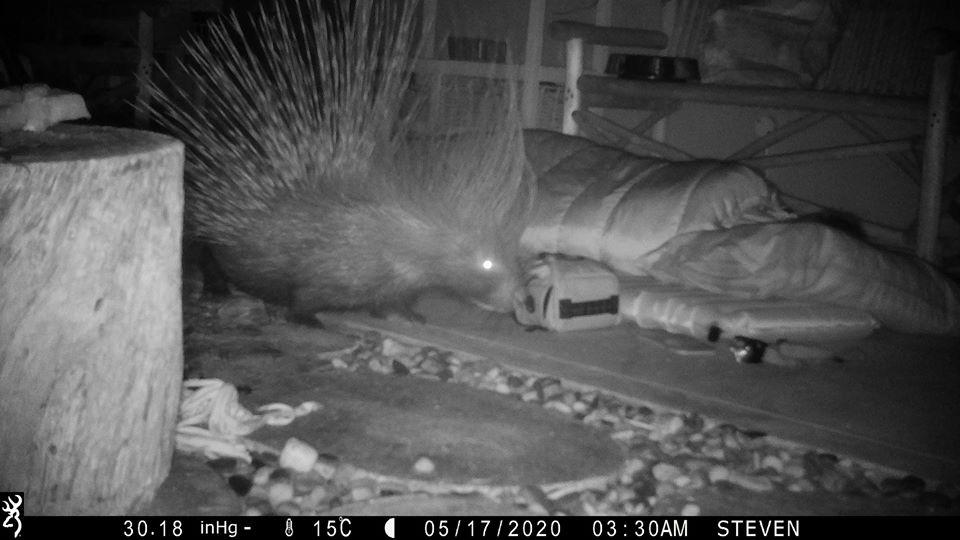Porcupine sniffs at camera bag