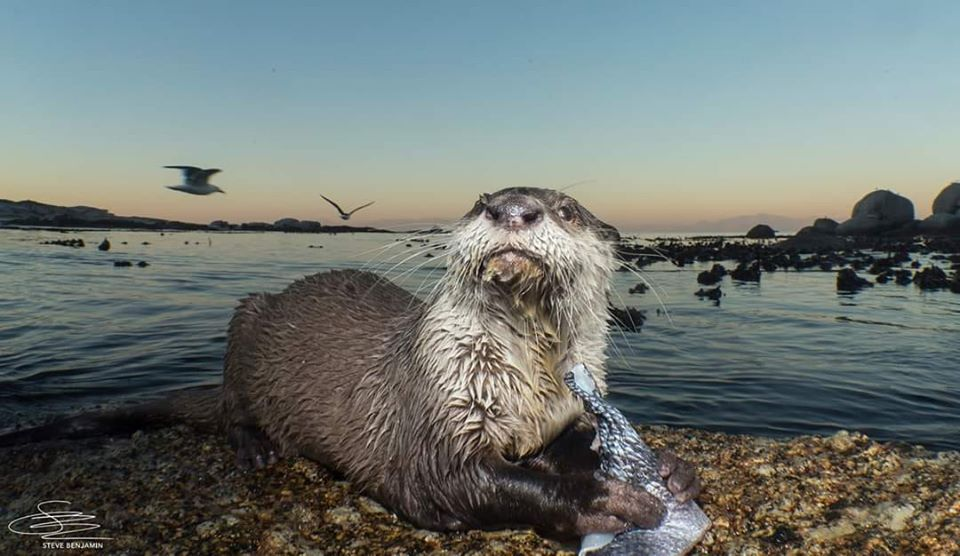 A Cape clawless otter holds a fish and looks into the camera