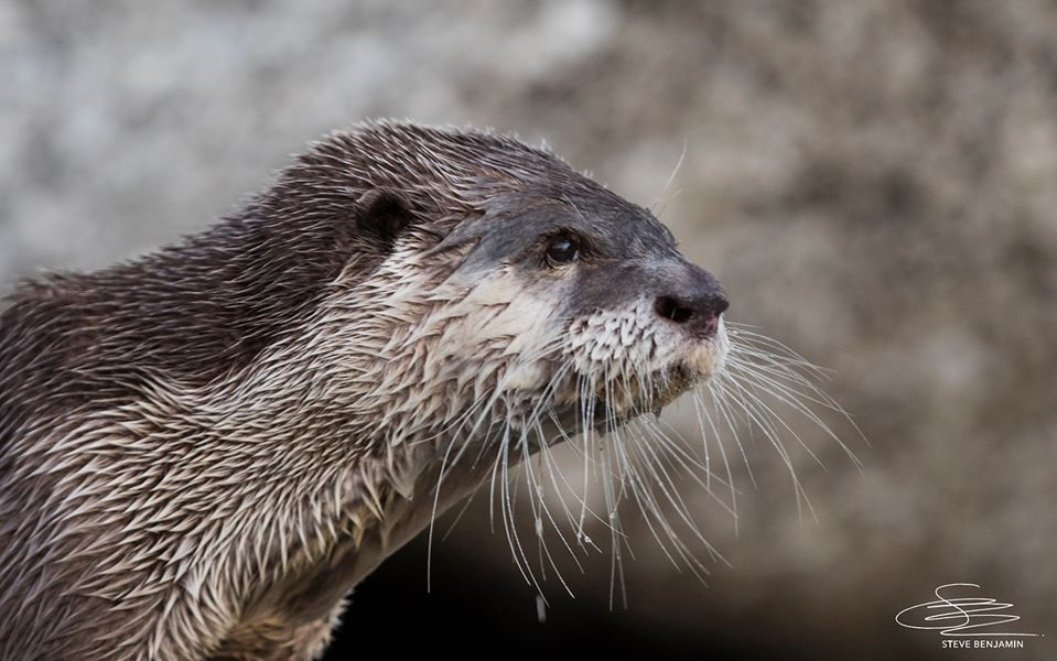 Cape clawless otter looks into the sea